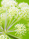 Angelica Essential Oil 100% Pure