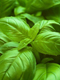 Basil Essential Oil 100% Pure