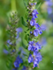 Hyssop Essential Oil 100% Pure