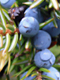 Juniper Berry Essential Oil 100% Pure