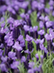French Lavender Essential Oil 100% Pure