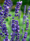 Lavender Population Essential Oil 100% Pure