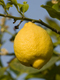 Lemon Essential Oil 100% Pure