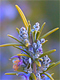 Rosemary Flower Essential Oil 100% Pure