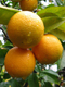Sweet Orange Essential Oil 100% Pure