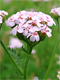 Yarrow Essential Oil 100% Pure