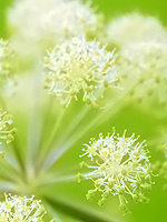 Organic Angelica Essential Oil 100% Pure
