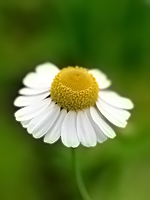 German Chamomile Essential Oil 100% Pure