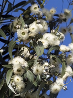 Eucalyptus Globulus Essential Oil 100% Pure