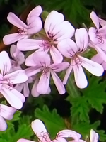 Bourbon Geranium Essential Oil 100% Pure