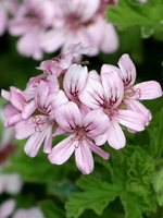 Geranium Essential Oil 100% Pure