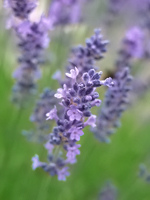 Australian Lavender Essential Oil 100% Pure