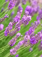 Lavender Essential Oil 100% Pure