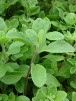 Sweet Marjoram Essential Oil 100% Pure