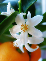 Neroli Essential Oil 100% Pure