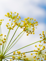 Sweet Fennel Essential Oil 100% Pure