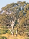 Australian Sandalwood Essential Oil