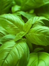 Basil Essential Oil (CT Linalool)