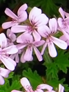 Organic Bourbon Geranium Essential Oil 100% Pure