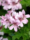 Organic Geranium Essential Oil 100% Pure