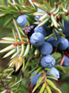 Organic Juniper Berry Essential Oil 100% Pure